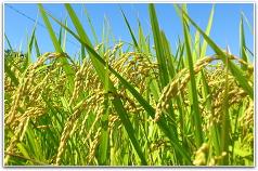 お米を作っている田んぼ
